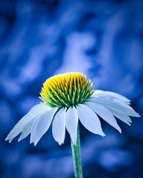 Sonnenhut-Echinacea von Wim van Beelen