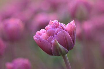 Rosa Tulpe in Nahaufnahme von John Leeninga