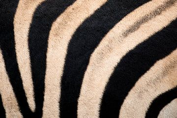 Zebrahuid Kruger Park Zuid Afrika van John Stijnman