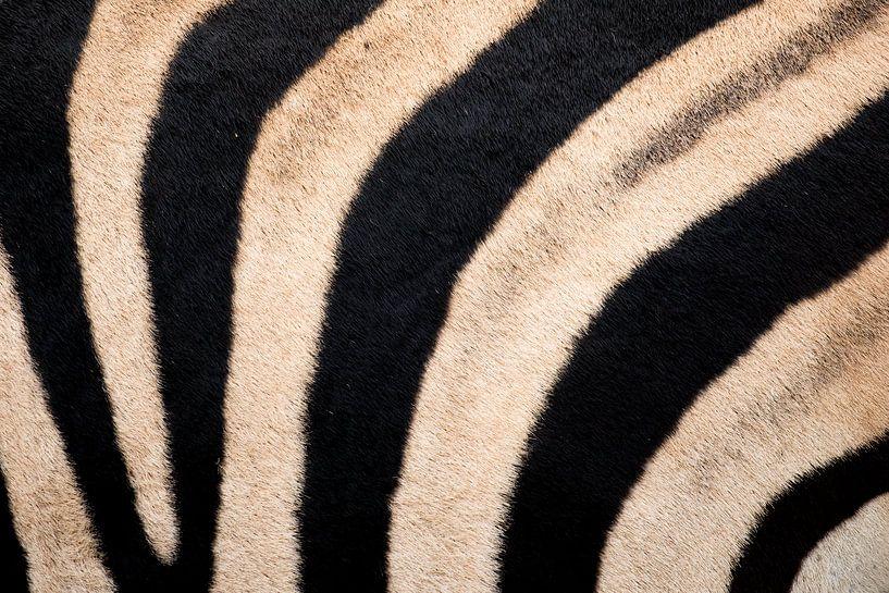 Zebrahaut Krügerpark Südafrika von John Stijnman