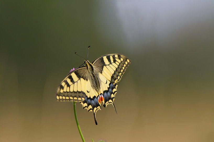Mooiste vlinder van nederland van Remco Van Daalen