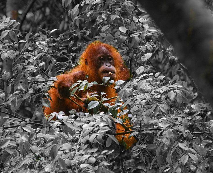 Kleine orang-oetan op Sumatra