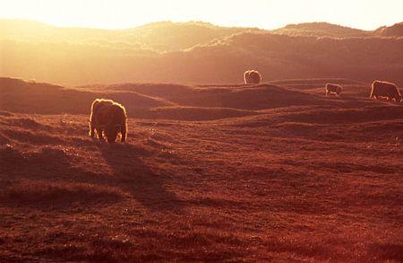 Hooglanders in de zonsondergang