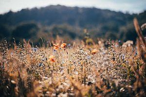 Mohnblumenwiese von Denny Lerch