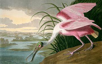Der Rosalöffler, Robert Havell nach John James Audubon