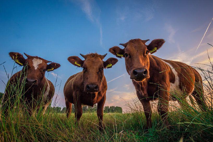 Koe-keloeren van Martijn Barendse