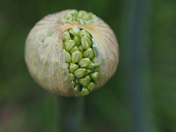 Garlic Flower II van Alexander van der Linden