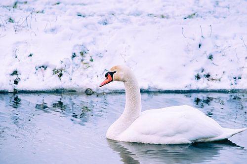 Knobbelzwaan in de winter