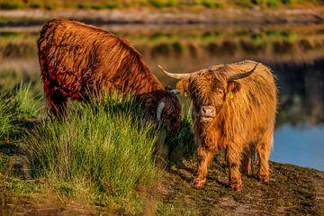 Schottischer Highlander schaut auf die Linse, während er isst. von Bas Fransen
