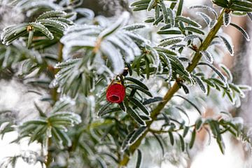Rode bes in conifeer van Martina David