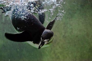 Pinguin schwimmt in grünem Wasser (in der Wassersäule), Falpenguin schwimmt in grünem Wasser (in der von Michael Semenov