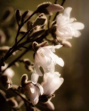 Magnolia II van Saskia Schotanus