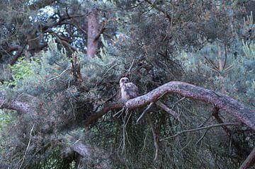 Uil in de dennenboom von Ina Hölzel
