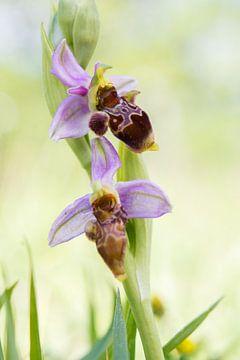 Sniporchis - Ophrys scolopax von Mark Meijrink