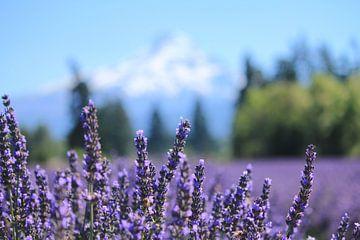 Lavendelfeld am Fuße des Mt. Hood von Sarah Lugthart