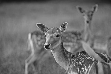 The Deer van Tinus Tibbe