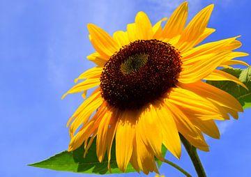 Zonnebloem von Gert van der Hee