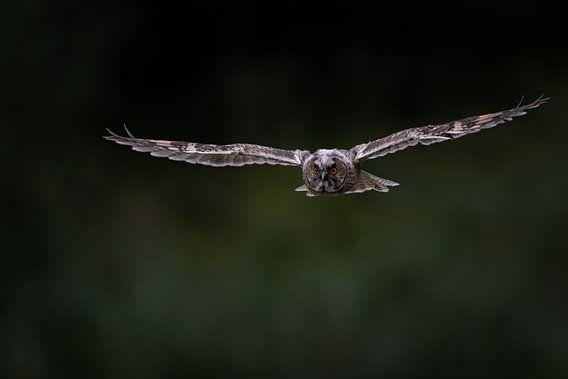 De vlucht van een jonge ransuil