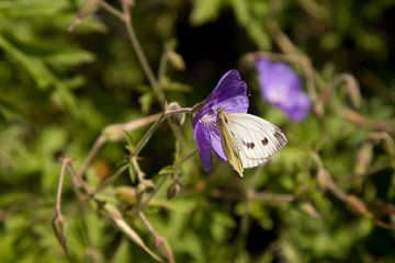 Een vlinder bij kasteel de Vanenburg van Wilbert Van Veldhuizen
