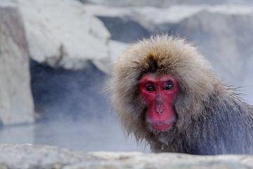 Snow Monkey 4 van