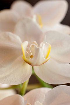 witte orchidee van Karin Keesmaat Kijk-Kunst