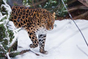 Verre Oosten luipaard op een achtergrond van sneeuw en sparrentakken. Wilde mooie grote kat op een a van Michael Semenov