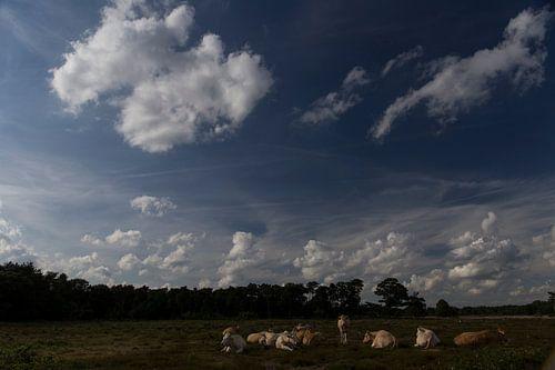 Kudde koeien op de heide, Strijbeek, Strijbeekse heide, Noord-Brabant, Holland, Nederland afbeelding
