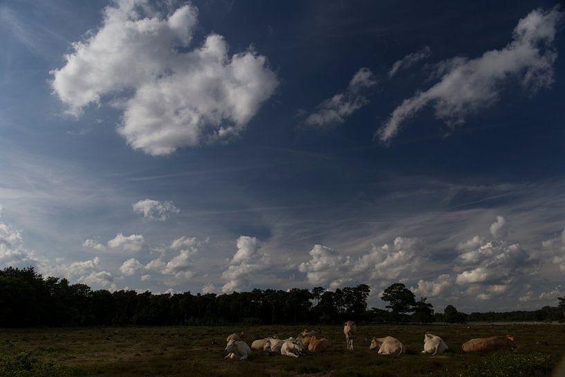 Kudde koeien op de heide, Strijbeek, Strijbeekse heide, Noord-Brabant, Holland, Nederland afbeelding van Ad Huijben