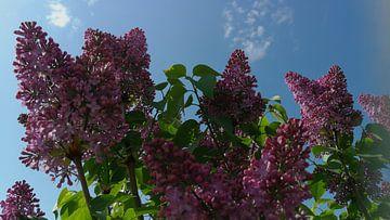 Flieder lilac van Jenny Heß