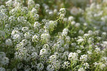 Witte bloemen van Iberis sempervirens, ook wel candytuft genoemd, een altijdgroene bodembedekker voo van Maren Winter