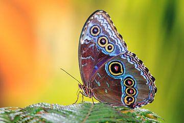 Blauwe Morpho vlinder van Dennis van de Water
