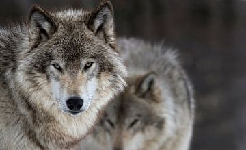 Deux Loups von