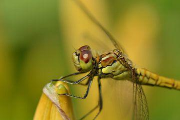 Libelle vol in kleur van Gerben van den Hazel