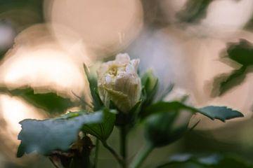 fleur ensoleillée sur Tania Perneel