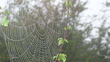 Spinneweb aan een tak van een braam. van Leo Quartel