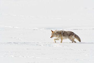 Coyote  ( Canis latrans ) in winter, walking through deep snow, squinting eyes van