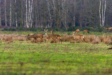 Hirsche auf offener Ebene mit schottischen Highlandern im Hintergrund von Maarten Oerlemans