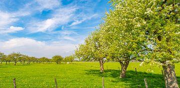 Reihen von Apfelbäumen in einem Obstgarten mit weißer Blüte im Frühling von Sjoerd van der Wal