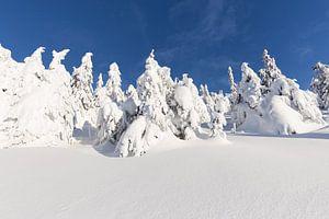 Besneeuwde Sparren tegen een blauwe lucht