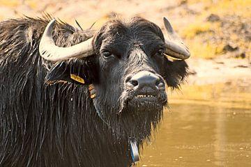 Kop van een badende indrukwekkende buffel.