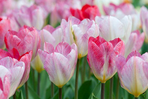 Roze tulpen in de Keukenhof