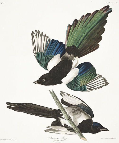 Amerikaanse Ekster van Birds of America