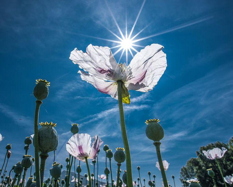 Witte klaproos met de zon in stervorm als tegenlicht van Harrie Muis