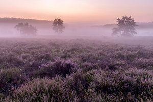 Even voor zonsopkomst op de heide van de wijers in belgisch Limburg, Belgie van