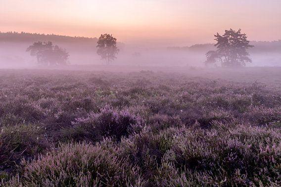 Even voor zonsopkomst op de heide van de wijers in belgisch Limburg, Belgie