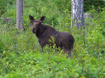 Eland in Zweden van Leon Versaevel