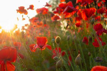 Mohnblumen in der untergehenden Sonne von Alvin Aarnoutse