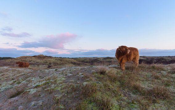 2 Schotse Hooglanders op een duintop tijdens zonsopkomst