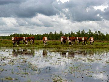 Koeien in Nederlands Landschap Fochteloërveen van Mark de Weger