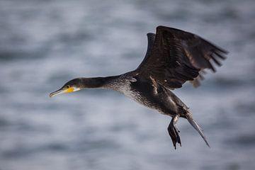 Kormoran vliegt over de zee van Tobias Luxberg